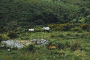 sheep on the moors