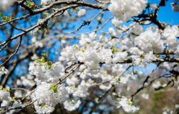 White blossom on a tree
