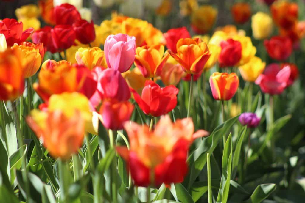 Colourful tulip garden