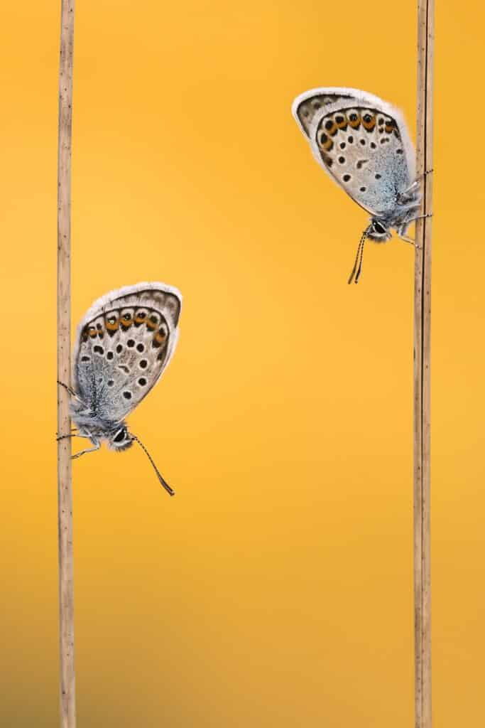 Silver Studded Blues